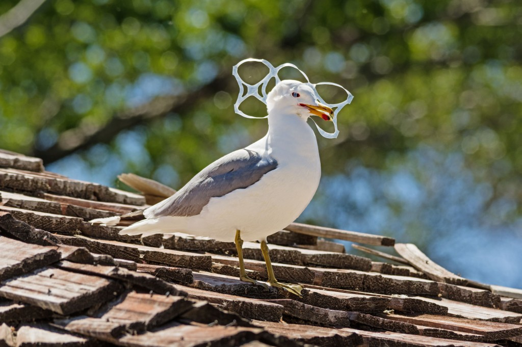 39810108 - sea gull trapped in plastic six pack holder pollution